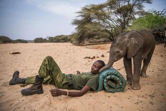 Номинация: «Природа. Серия фотографий»Название снимка и автор: «Воины, которые когда-то боялись слонов, теперь защищают их», Эми ВитейлО чем фотографии: Серия снимков американки о новорожденных слонах, проходящих реабилитацию перед отправкой в специальное учреждение для осиротевших животных в Кении