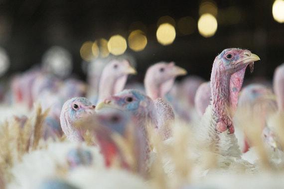На площадках ГК «Евродон» вновь подозрение на птичий грипп
