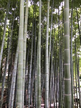 Бамбуковая роща в районе Арашияма, Киото