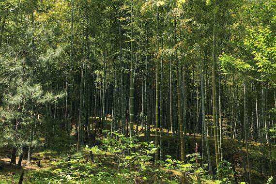 Бамбуковая роща в районе Арашияма