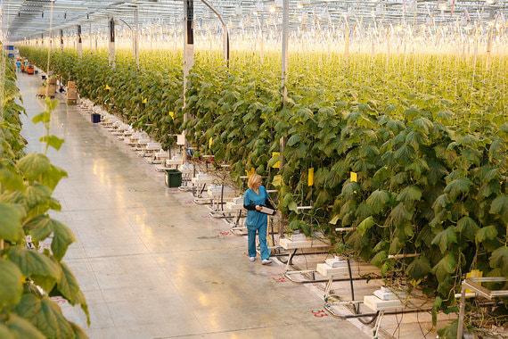 Сейчас в теплицах «Магнита» больше всего выращивается огурцов