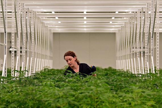 Легализация марихуаны в Канаде – интересный эксперимент для многих стран