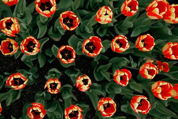 Крупный европейский цветовод подал в суд на российского партнера из-за тюльпанов