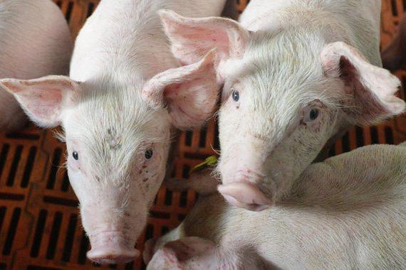 «Русагро» купила долю в одном из крупнейших производителей свинины России