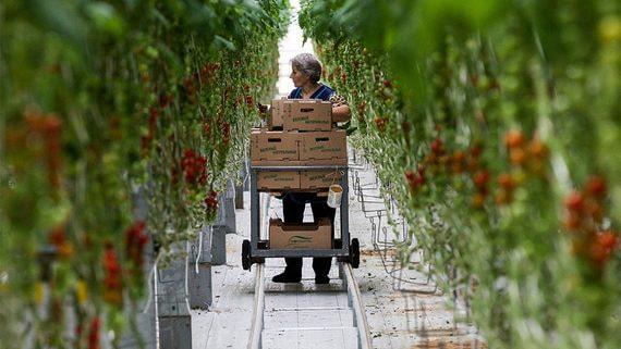 Теплицы оказались самым рентабельным направлением сельского хозяйства в России