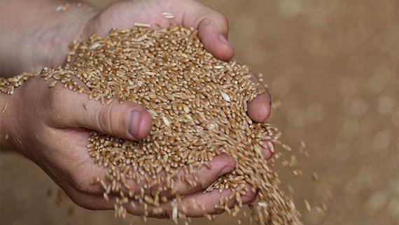 Государство продаст зерно из госфонда для стабильности рынка