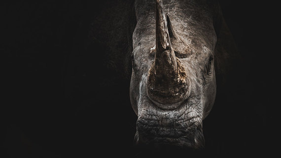 Черные лебеди или все же носороги