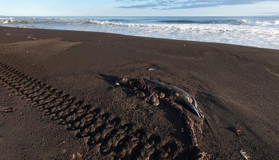 Минприроды не будет оценивать ущерб от гибели морских животных на Камчатке
