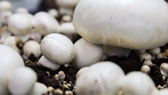 Крупнейший грибной проект в России отложен на неопределенный срок