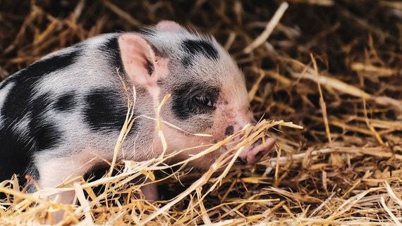 Huawei внедрит ИИ-технологии на свинофермах
