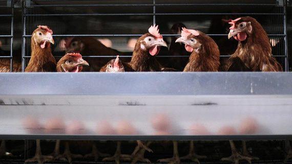 Правительство уведомили о повышении оптовых цен на мясо птицы и яйца
